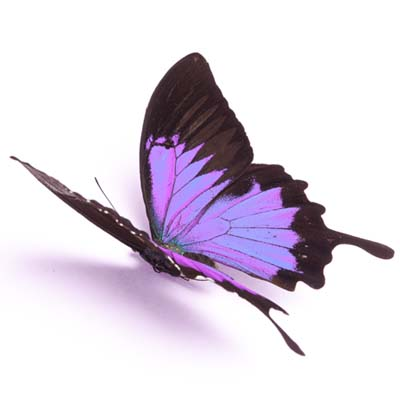 purple butterfly on white background